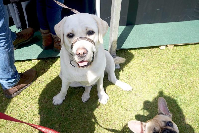 labrado french bulldog