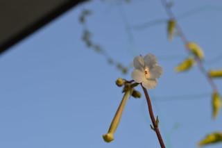 DSC_3739 Sinningia tubiflora シンニンギア 上海の女王 Hardy White Gloxinia