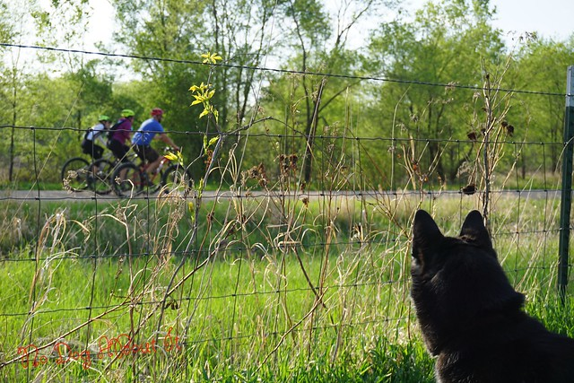Dog watching bicyclists