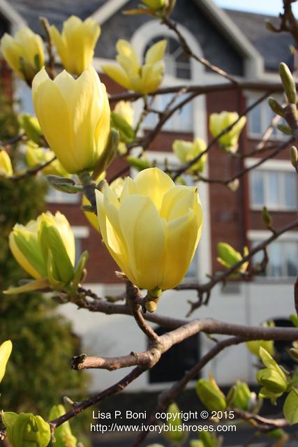 Magnolia / Tulip Tree