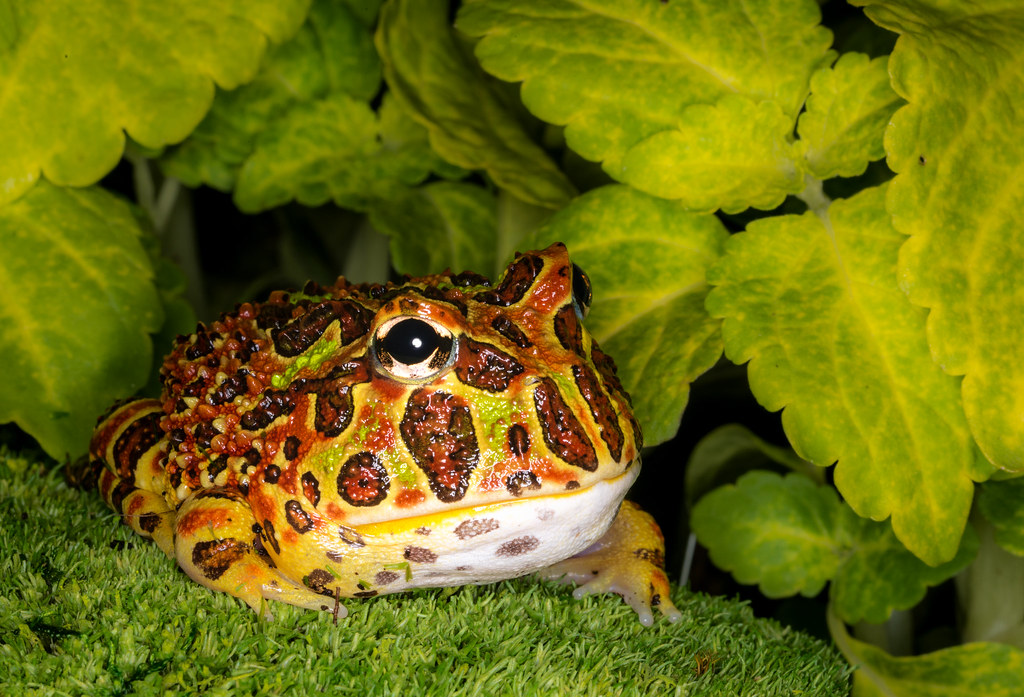 Image result for pacman frogs