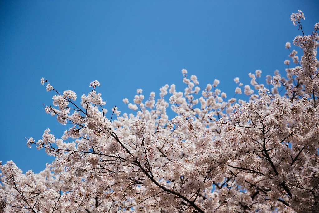 Seoul Yeouido Spring Flower Festival Seoul And Korea S Mo Flickr