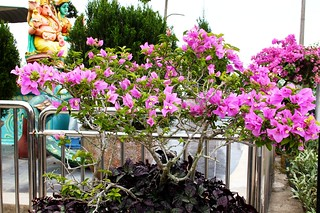 Bougainvillea Bonsai | by tiger289 (The d'Arcy dog supporters club)