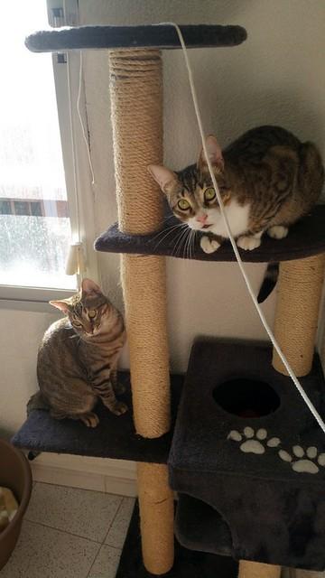 Cotton y Cobby, gatos pardo y blanquipardo inseparables, nacidos en Febrero´15, necesitan adopción Conjunta. Valencia. 28945469903_299e4a7189_z
