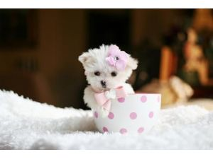 Teacup Dogs Full Grown For Sale | via Dog & Cat Pictures ...