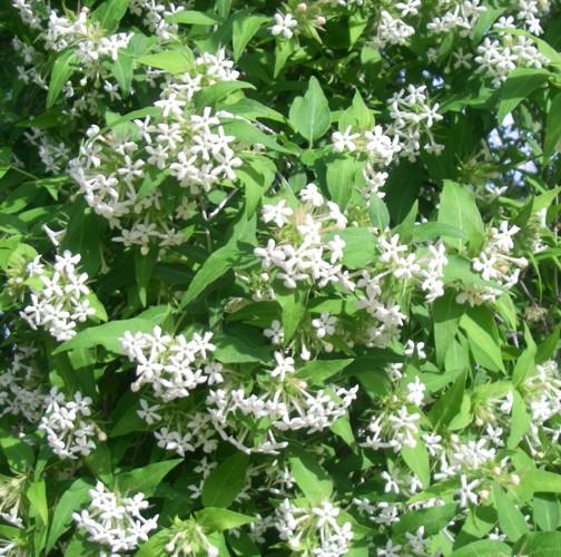 Abelia triflora 16876632553_833e55ae54_o