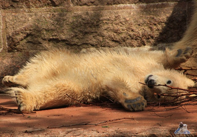 Eisbär Fiete Zoo Rostock 03.05.2015 Teil 3 21