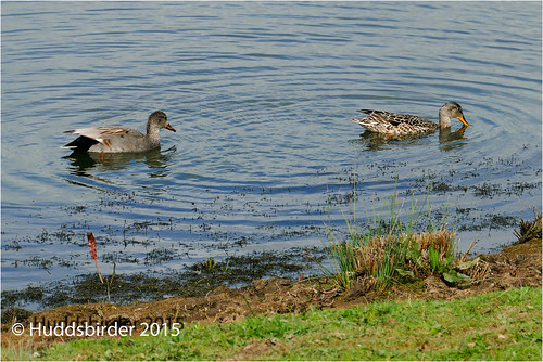 Gadwall (Mr and Mrs)