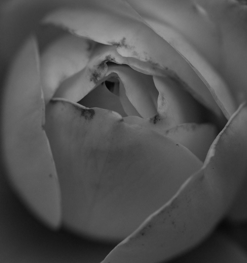 Rosa En Blanco Y Negro Marcy Schrum Flickr