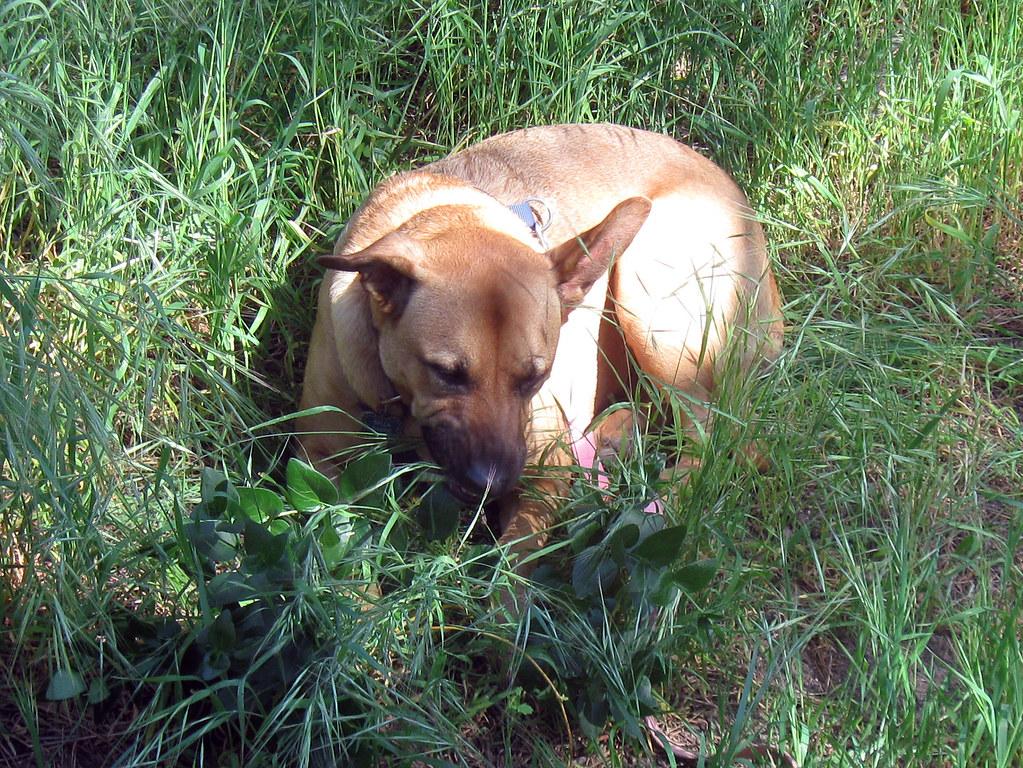 dog eating grass - HD1024×768