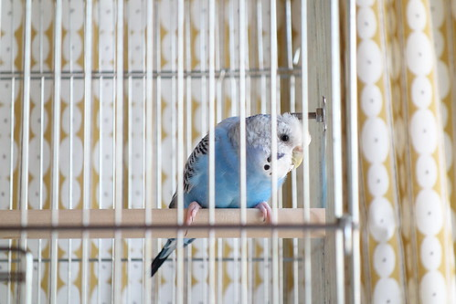Budgerigar_Ico_(2015_05_10)_1 雌の青いセキセイインコが鳥籠の止り木に止まっている。籠から突き出たボルトに頭を擦り付けている。