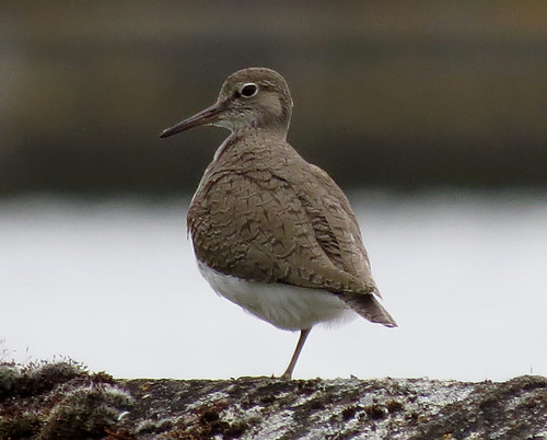 Common Sandpiper Actitis hypoleucos Tophill Low NR, East Yorkshire May 2015
