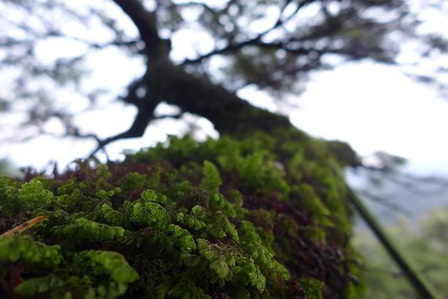 苔蘚密布,大樹上的附生植物變化多姿,是陳雅得喜歡觀察的對象。圖片來源:陳雅得。