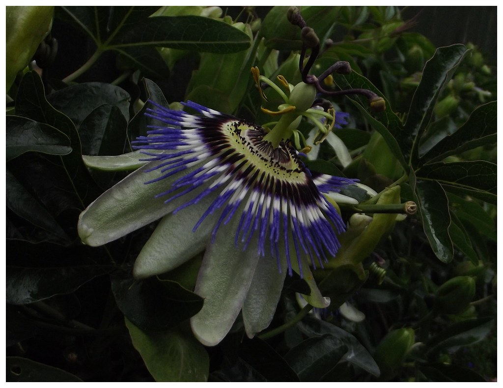 The paraguayan passion flower or passiflora caerulea passi flickr the paraguayan passion flower or passiflora caerulea passion flower is a tough woody stemmed vine mightylinksfo