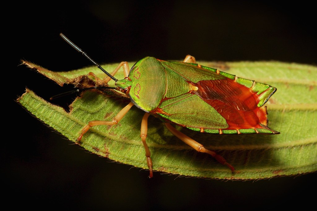 Tessaratomid Giant Shield Bug (Tessaratomidae)
