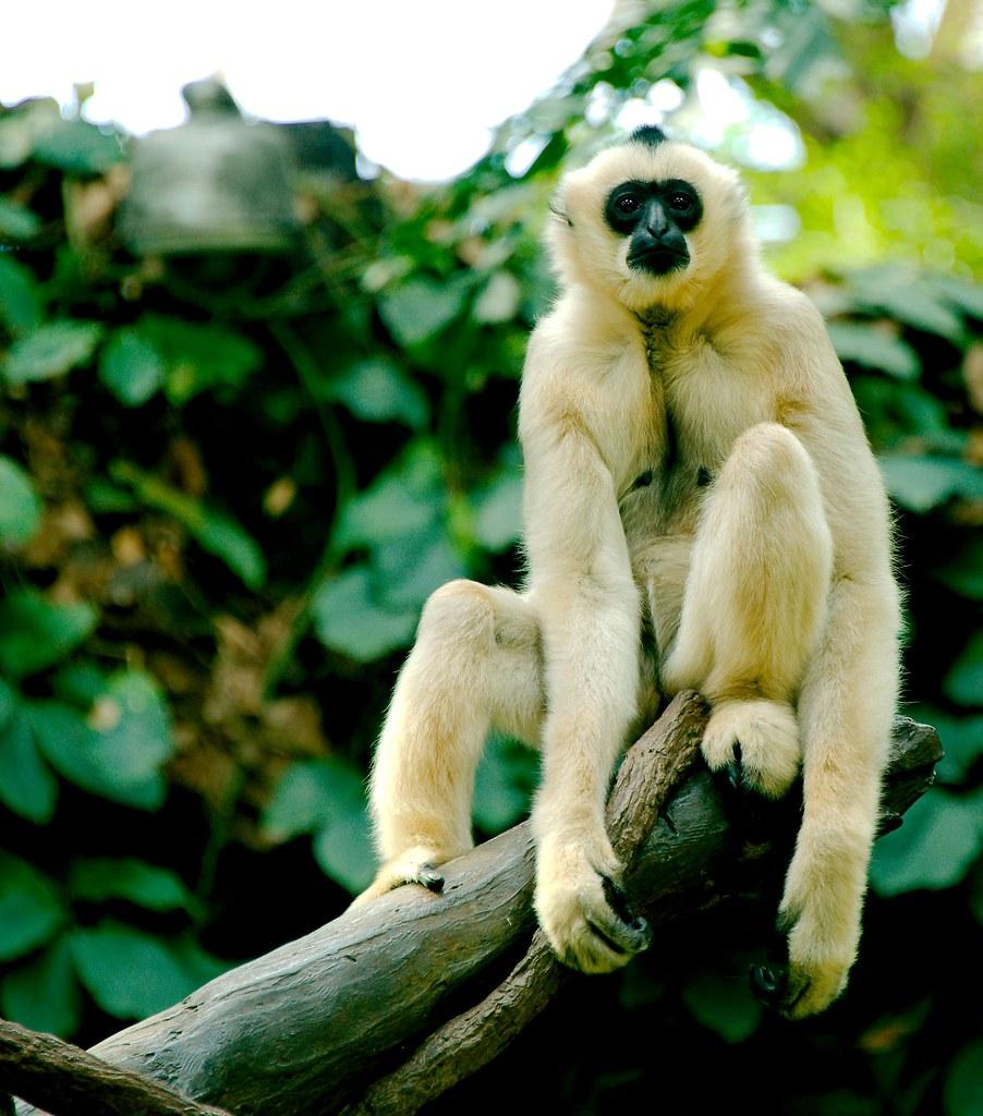 White-cheeked Gibbon (Nomascus leucogenys)_4
