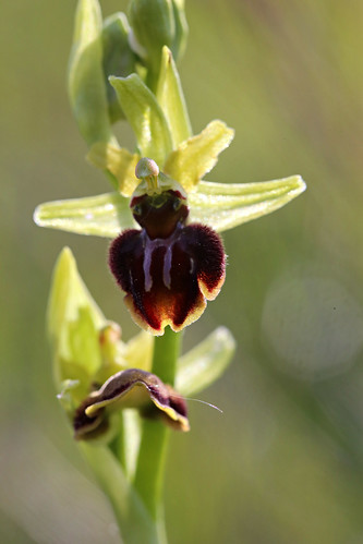 Early Spider orchid Ophrys sphegodes