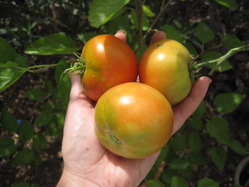 Tomates en el huerto