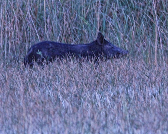 Wild Boar first sighting 02-20160411