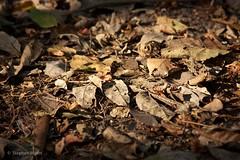 Fallen Leaves, Forest Floor, South Pantanal, Brazil.