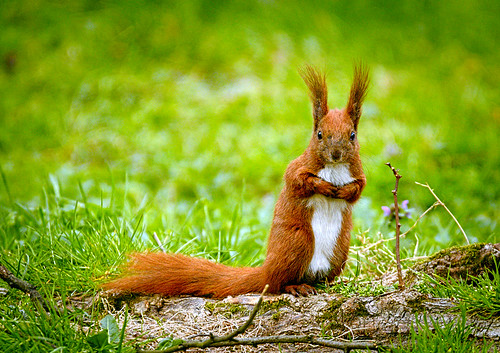 Squirrel | by hedera.baltica