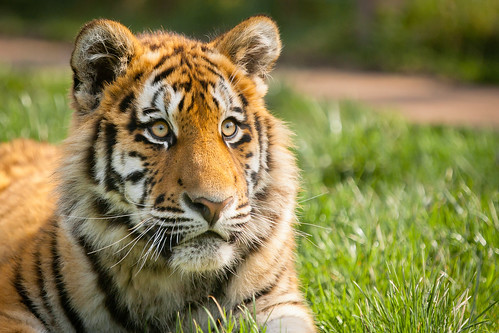 Siberian tigers poaching - photo#36