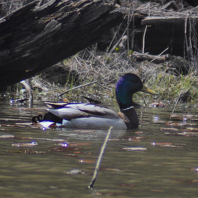 d0ebbd673c54e ... I am becoming a better duck hunter #mallard #clendeninglake #nature  #instanature #