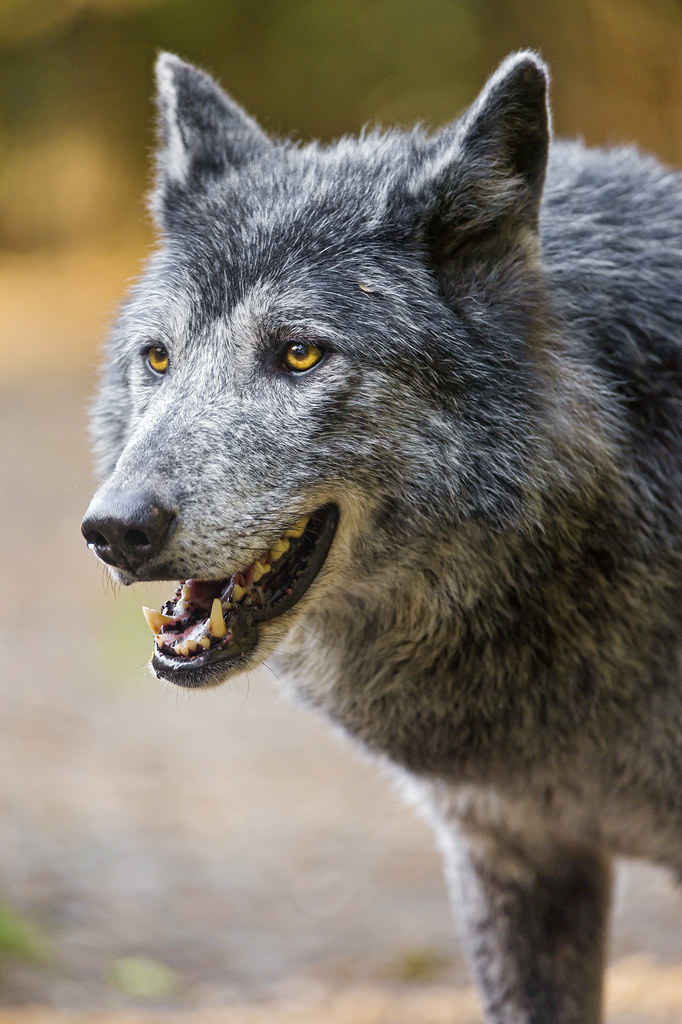 Billedresultat for wolf open mouth profile | References ...
