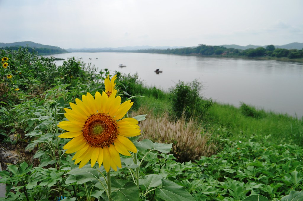 Sunflowers the Mekong River in Chiang Khan, Thailand, March 2015.
