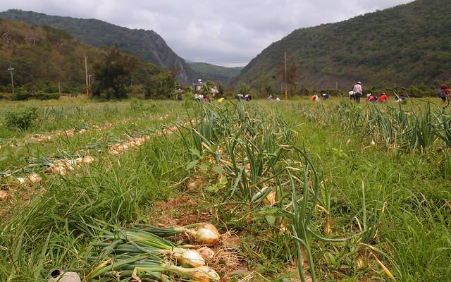 四重溪冬季為恆春半島洋蔥產地。攝影:李育琴