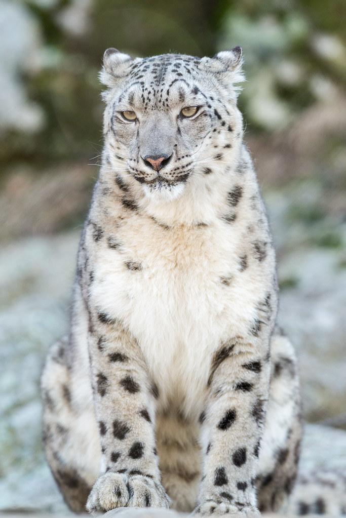 Snow Leopard Sitting |...