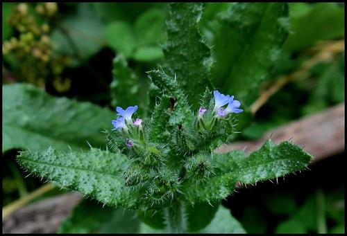 Anchusa arvensis (= Lycopsis arvensis) - buglosse des champs  28257244152_a7ffde330e