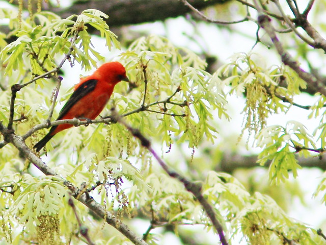 Scarlet Tanager 3- edit 20150514