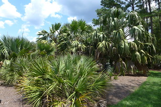 Sabal Collection 2 Coastal Georgia Botanical Gardens Sava Flickr