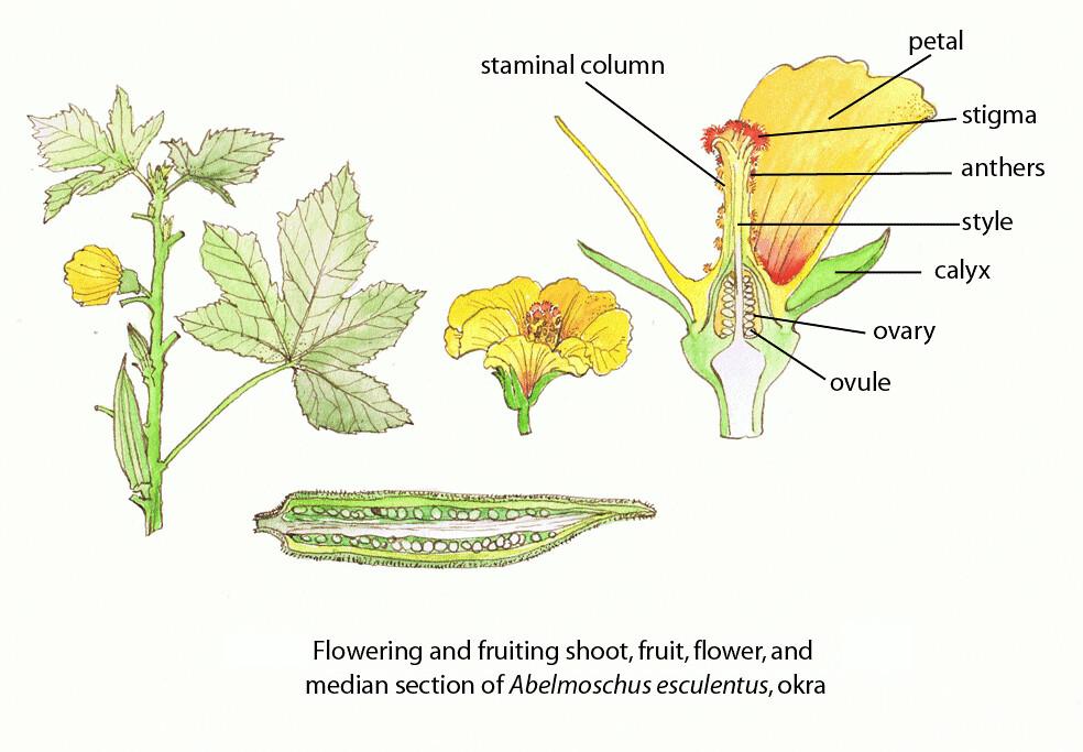 okra plant diagrams wiring diagram all data Okra Varieties okra �fao guida joseph floral diagrams of pollinator depen flickr flower structure diagram carpal okra plant diagrams