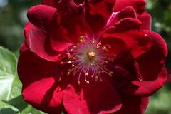 Rosa rugosa (Rugosa Rose)