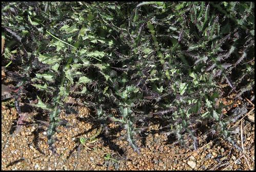 Cirsium palustre - cirse des marais  27900400224_fefc242994