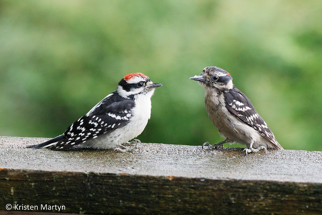 Downy Woodpecker (Picoides pubescens)- Adult Male (Right) Feeding His Son (Left)