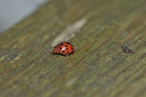 24 Spot Ladybird | by markhows