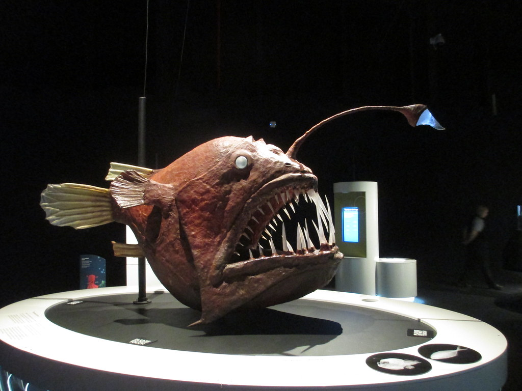 Deep sea angler fish scienceworks melbourne ian flickr for Angler fish size