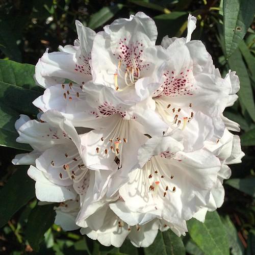 زهور بيضاء ,صور ورود بيضاء , صور ورد ابيض