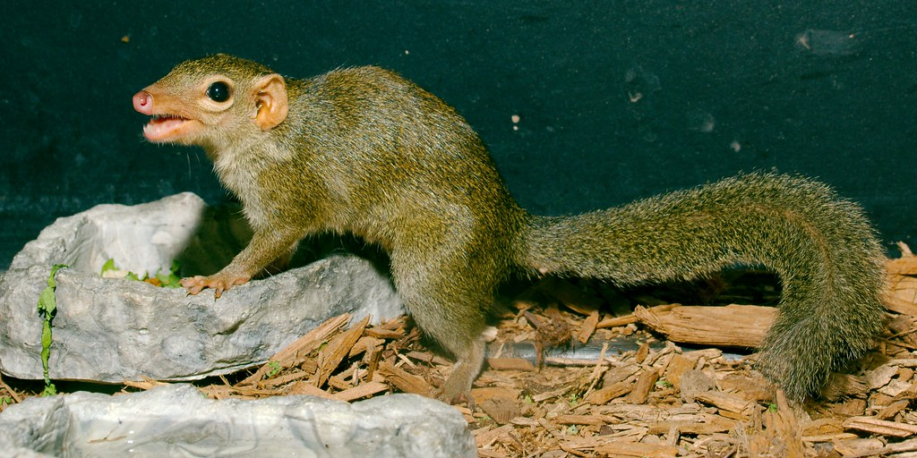 Northern Tree Shrew_1