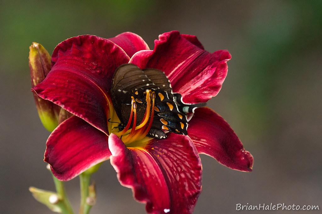 Venus butterfly trap
