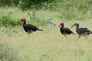 Southern Ground Hornbills (Bucorvus leadbeateri) with juvenile | by berniedup