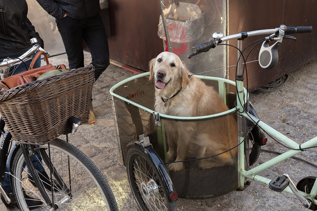 An Adorable Bike Retriever