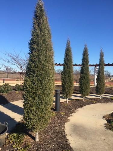 Juniperus virginiana 'Taylor' 2015-12-04  Bentonville, AR