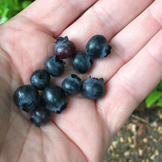 Blueberries from the Lewis Garden... #lewis #twitter | by lewiselementary