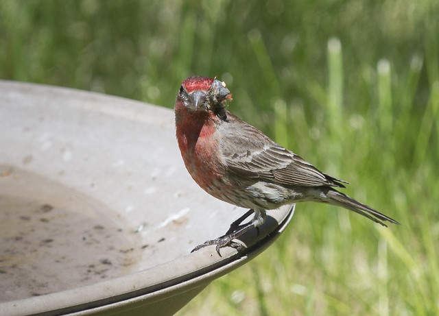 One Eyed Finch 2