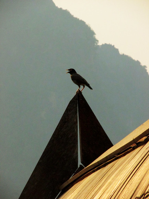 Bird in Laos