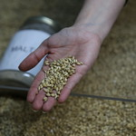 Malted Barley